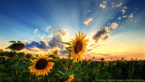 Sunflower under the sunrise