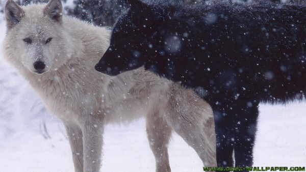 White and black wolf