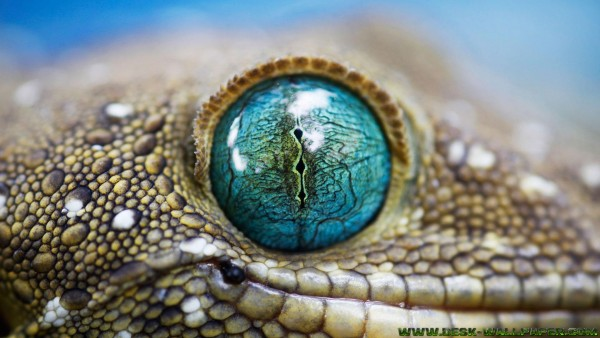 Blue lizard eye