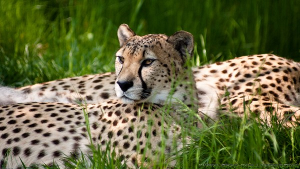 Cheetah beauty