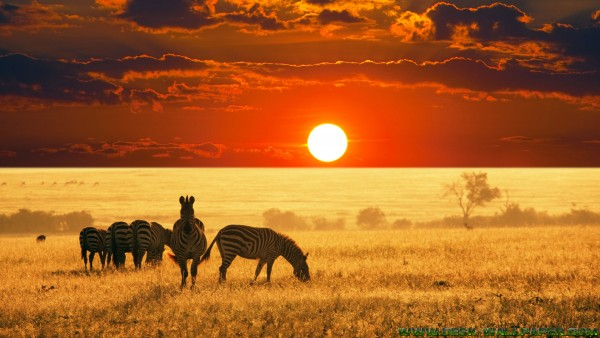 Zebras in the sunset
