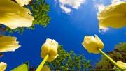Tulip race