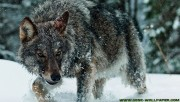 Wolf in forest
