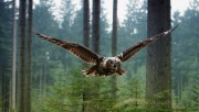 Flying owl in woods