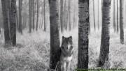 The quiet wolf